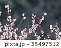 梅 花 春の写真 35497512
