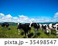 北海道の牧場 牛 乳牛 35498547