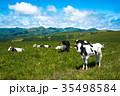 北海道の牧場 牛 乳牛 35498584