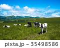 北海道の牧場 牛 乳牛 35498586