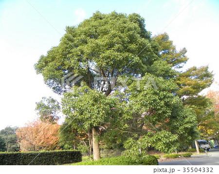 谷津干潟公園の駐車場の楠の大木 35504332