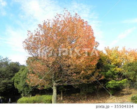 真っ赤に紅葉した谷津干潟公園のモミジバフウの大木 35504334
