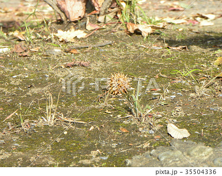 風で地上に落ちた未だ未熟なモミジバフウの実 35504336