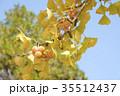 銀杏の木の紅葉とギンナン 35512437