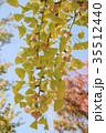 銀杏の木の紅葉とギンナン 35512440