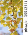 銀杏の木の紅葉とギンナン 35512441