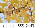 銀杏の木の紅葉とギンナン 35512443
