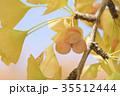 銀杏の木の紅葉とギンナン 35512444