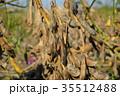 畑に干された黒大豆  35512488