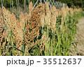 ひえ ヒエ 稗 収穫直前のヒエ  35512637