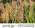 ひえ ヒエ 稗 収穫直前のヒエ  35512638