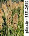ひえ ヒエ 稗 収穫直前のヒエ  35512639