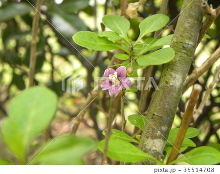 五芒星の形の紫色の花はクコの花 35514708