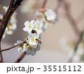 桜 さくら サクラの写真 35515112