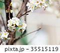 桜 さくら サクラの写真 35515119