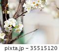 桜 さくら サクラの写真 35515120