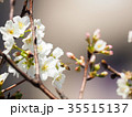 桜 さくら サクラの写真 35515137