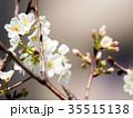 桜 さくら サクラの写真 35515138