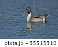 鳥 オナガガモ カモの写真 35515310