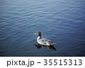 鳥 オナガガモ カモの写真 35515313