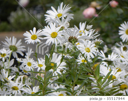 浜辺の白い花はハマギクの白い花 35517944