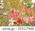 真っ赤に染まったヤマボウシの紅葉 35517946