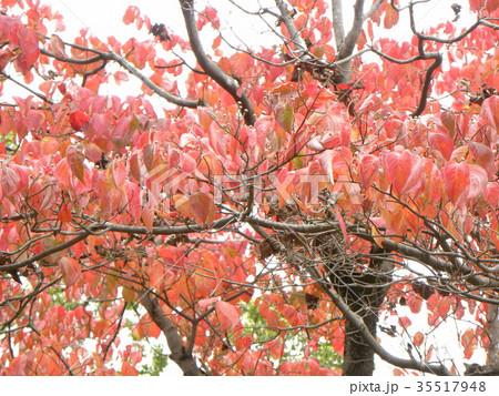 真っ赤に染まったヤマボウシの紅葉 35517948