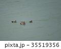 野鳥 カモ オカヨシガモの写真 35519356