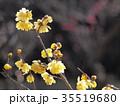 ロウバイ 梅 植物の写真 35519680