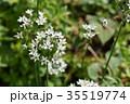 植物 花 野菜の写真 35519774