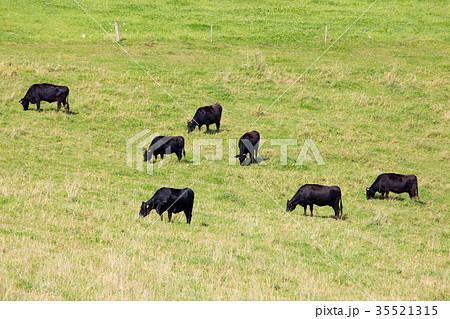 牧場の牛(北海道・美瑛町) 35521315