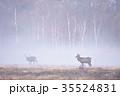霧の中を歩くオスのエゾシカ(北海道) 35524831