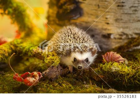 African pygmy hedgehog on moss 35526183