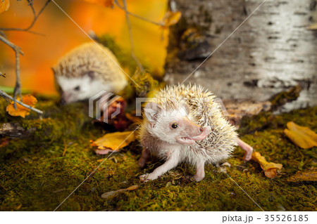 African pygmy hedgehogs on moss 35526185
