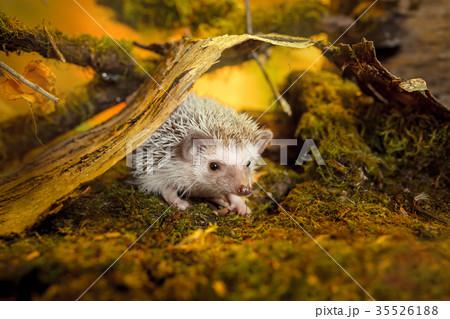 African pygmy hedgehog on moss 35526188
