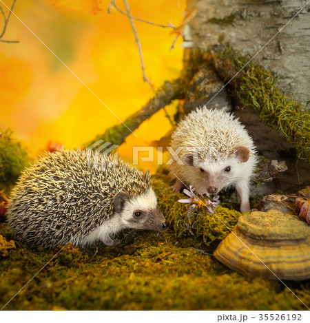 African pygmy hedgehogs on moss 35526192