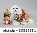 犬 門松 晴れ着の写真 35529531
