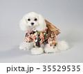 晴れ着を着た白い犬 35529535
