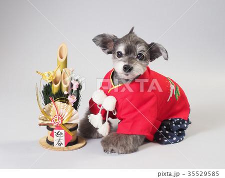 門松と赤い晴れ着を着た犬 35529585