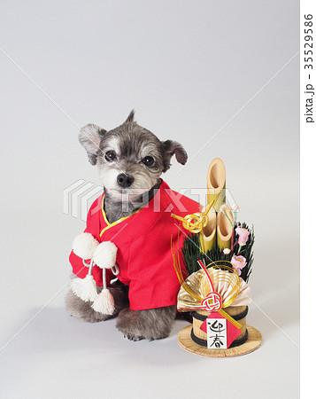 門松と赤い晴れ着を着た犬 35529586