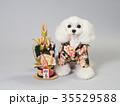 犬 門松 晴れ着の写真 35529588