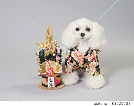 門松と晴れ着を着た白い犬 35529588