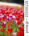 チューリップ 35530126