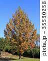 メタセコイア 紅葉 樹木の写真 35530258