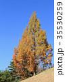 メタセコイア 紅葉 樹木の写真 35530259