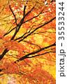 紅葉 イチョウ 銀杏の写真 35533244