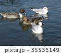 稲毛海浜公園に来たオナガガモとユリカモメ 35536149