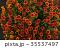 菊科 キク 菊の写真 35537497