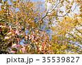 ナンキンハゼ 紅葉 葉の写真 35539827