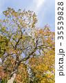 ナンキンハゼ 紅葉 葉の写真 35539828